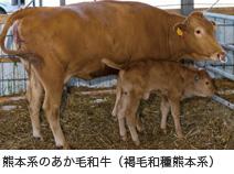 熊本系のあか毛和牛(褐毛和種熊本系)