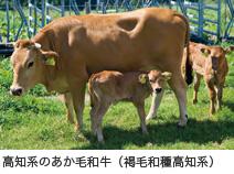 高知系のあか毛和牛(褐毛和種高知系)
