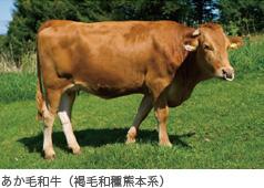 あか毛和牛(褐毛和種熊本系)